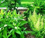 Plants in the nursery - Herb knot garden design - Herb garden design ...