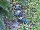 pc Alligator Garden Decor / Yard Art / Garden Statue / Garden Stone