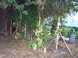 rustic garden poles