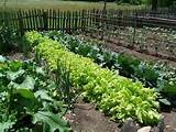 ... on organic gardening,organic vegetable garden,organic vegetable beds