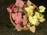 new plants from diy heuchera cuttings