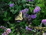butterfly bush plant garden flower ideas