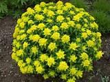 euphorbia flower plants succulents garden ideas