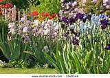perennial garden in full bloom filled with iris and poppies and