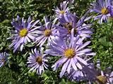 perennials that flower for long periods | Lisa Cox Garden Designs ...