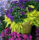 in purple and chartreuse looks fabulous nestled into the flower bed