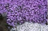 ... rock garden plants clematis daniel deronde clematis daniel deronde
