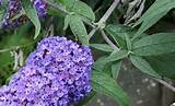 Plants For Patio and Pots – Dwarf Buddleja | Garden Offers and Smart ...