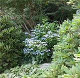 Blue Hydrangea Plants Handle Partial Shade