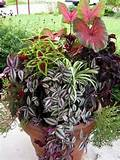 IMG 1851 768x1024 Partial Shade Container Garden; Indoor Tropicals and ...