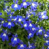 lobelia lagun garden crossings annual for partial shade google
