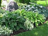 partial classic shade plant
