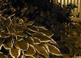 hostas in shade garden flickr photo sharing