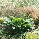 it s easy to love hostas in deep shade where grass and other plants