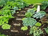 my shade garden nearly all the hostas in my growing shade garden were