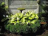 by hosta and boxwood makes a spectacular garden focal point