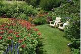 buddleia shrubs lawn grass in perennial summer flower garden
