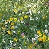 garden perennials this wild flower seed mixture contains perennial ...