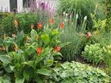 perennial garden close up cana lily and others