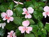 New Impatiens Introduction: Simply Beautiful Fusion Impatiens Series