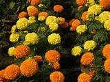 marigold flower or gada genda ful in orange and yellow color