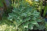 many gardeners desire to plant hostas in their yard due to the fact