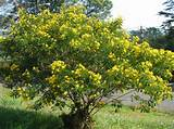 cassia bicapsularis syn christmas senna golden shower christmas