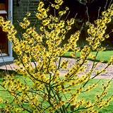 home garden flowers trees and shrubs witch hazel plant hamamelis