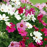 Home Garden Flowers Flower Plants All Flower Plants Cosmos Plants ...