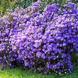 Home Garden Flowers Trees and Shrubs Azalea japonica Plant - Diamond ...