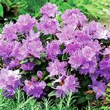 Home Garden Flowers Trees and Shrubs Rhododendron Dwarf Plant - Ramapo