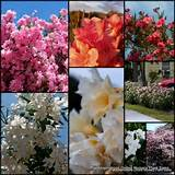 Oleander x 8 Mixed Plants Drought Hardy Shrubs Garden Plants Flowers ...
