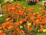 anemone orange garden flowers