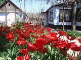 Plants. Flowers. Garden flowers.Tulip.
