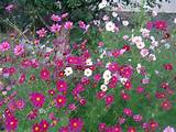 Cosmos: A Cottage Garden Classic