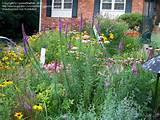 Cottage Gardening: pennefeather picture (More Cottage Garden Flowers)