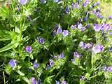 blue cottage garden flowers