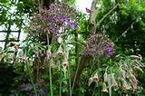 Alliums and Sicilian honey garlic are good plants for pollinators