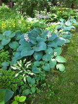 blue hosta in shade garden