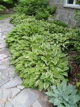 hosta in the shade garden