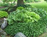 bed of hostas in the shade of the trees photo by favorite