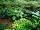 with other hostas ferns epimediums violets and hardy geraniums