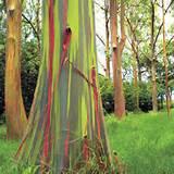 eucalyptus deglupta rainbow eucalyptus