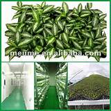 Aglaonema seedling nursery Tissue Culture Plantlets