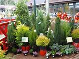 cardwell nursery garden centre conifers 500 x 375 53 kb jpeg