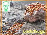 Get one free packet of ladybugs per family. Supplies are limited and ...
