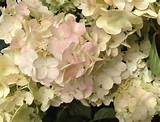Poyntons Nursery and garden centre| New release Hydrangea paniculata ...
