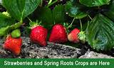 Strawberries and Spring Root Crops