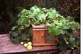 Lemon Cucumber - Nichols Garden Nursery - Fine Seeds & Herbs for the ...