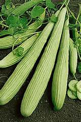 Online Webstore > Vegetable Seeds > Cucumber